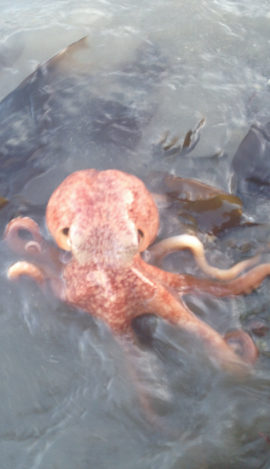 A curled octopus in the Menai Straits, Anglesey