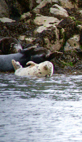A grey seal on the rocks on Puffin Island