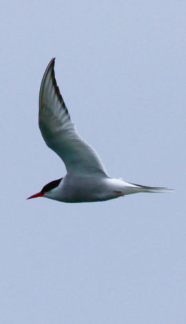 A tern in flight