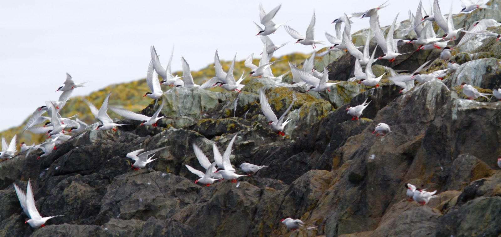 A flock of terns taking off from the Skerries